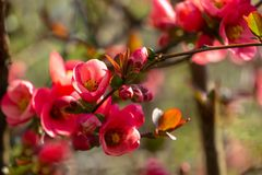 Macro of bright flowering Japanese quince or Chaenomeles japonica on the blurred garden background. Spring sunny day. Selective focus. Interesting nature royalty free stock images