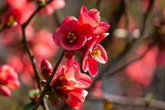 Macro of bright flowering Japanese quince or Chaenomeles japonica on the blurred garden background. Spring sunny day stock photos