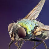 Macro of bright green coloured fly Royalty Free Stock Images