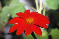 A bright orange sunflower royalty free stock photography