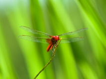 Macro of a bright red dragon fly Stock Image