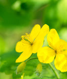 Macro of bright yellow flowers of Greater celandine on green Royalty Free Stock Image