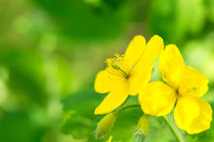 Macro of bright yellow flowers of Greater celandine on green background. Stock Photography