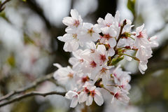 Macro brilhante da flor de cerejeira Foto de Stock Royalty Free
