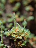 Macro of British Soldier Lichen Stock Photography