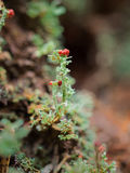 Macro of British Soldier Lichen. Macro of the green stalk and red berry of a British Soldier Lichen (cladonia cristatella) in Redwood National Park, California Royalty Free Stock Image