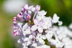 Macro of a broadleaf lilac Royalty Free Stock Image