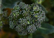 Macro of a broccoli floret stock photography