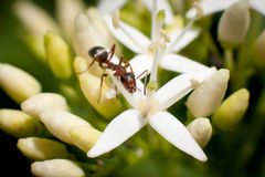 Macro brown ant. On flower Stock Photo