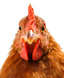 Macro of brown chicken head Royalty Free Stock Images