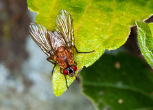 Macro of a brown fly Stock Photo