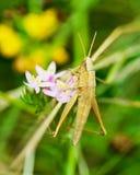 Macro brown grasshoppe Stock Photos
