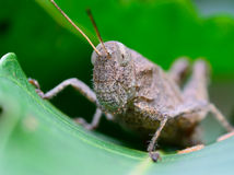 Macro of brown grasshopper hanging on leaf Royalty Free Stock Photography