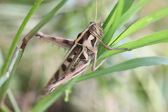 Macro of brown grasshopper perched on leaf. Stock Image
