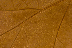 Macro Brown Leaf With Drops Royalty Free Stock Photography