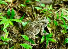 Macro of a brown toad Royalty Free Stock Image