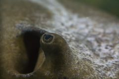 Macro of brown-white stingray`s eye with body in soft focus royalty free stock images
