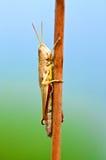 Macro bruine grasshoppe Stock Foto's
