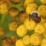 Macro of a Bubble Bee on Tansy. Macro of a bubble bee collecting pollen from Tanacetum vulgare Royalty Free Stock Images