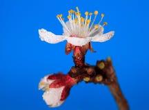 Macro of bud and blossom Royalty Free Stock Photos