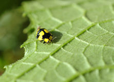 Macro bug. Macro of a lady bug Stock Photos