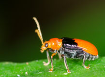 Macro of bug Royalty Free Stock Images