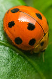 Macro of bug insect (Ladybug) on leaf in nature Royalty Free Stock Photos