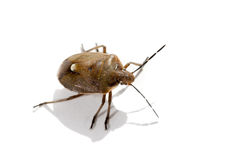 Macro bug isolated. Picromerus bidens royalty free stock photo