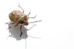 Macro bug isolated Royalty Free Stock Photography