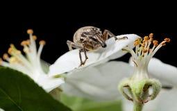 Macro of bug on white petal Stock Photos