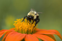 A macro of a bumble bee. A bumble bee works on an orange and yellow flower Stock Image