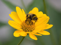 A macro bumblebee Stock Photo