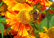 Macro - Bumblebee on a bright orange flower Helenium Royalty Free Stock Images