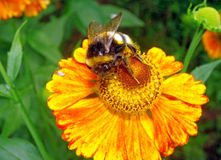 Macro - Bumblebee on a bright orange flower Helenium. Macro - Bumblebee on  a bright orange flower Helenium Royalty Free Stock Images
