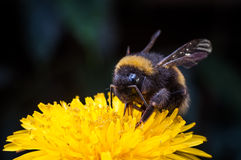 Macro of a bumblebee collecting nectar on Echinacea flower.  royalty free stock photos