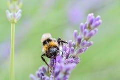 Macro of Bumblebee and lavender Stock Photo