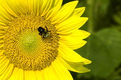 Macro of bumblebee on sunflower Royalty Free Stock Image