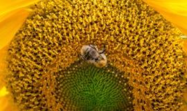Macro of a bumblebee Stock Photography