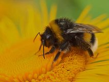 Macro of a bumblebee on a yellow flower royalty free stock photography