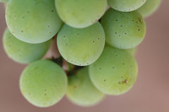 Macro of a bunch of wine grapes Royalty Free Stock Image