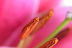 Macro Burgundy Lily background texture Stock Image