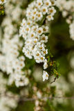 Macro bush of small white flowers on a branch Stock Photos