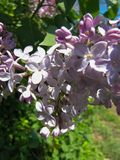 Macro Butterfly Bush in Partial Shade 2 stock images
