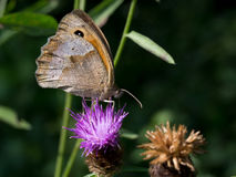 Macro of a butterfly : Coenonympha pamphilus Stock Images