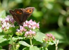 Macro of a butterfly : Erebia ligea stock photography