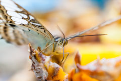 Macro of butterfly feeding in garden. Macro of beautiful butterfly feeding in garden insects farm royalty free stock image
