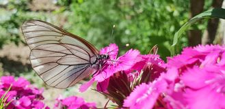 Macro butterfly landed on pink flower royalty free stock images