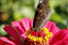 Macro of butterfly peacock eye collecting nectar on the zinnia Royalty Free Stock Photos