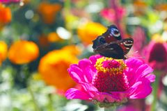 Macro of butterfly peacock eye collects nectar on the zinnia Stock Photo