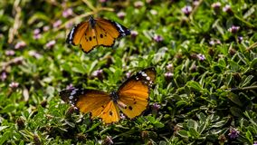 Butterfly Shot - hula Valley Stock Images